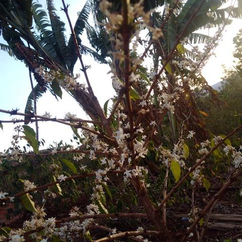 Blühende Kaffeepflanze